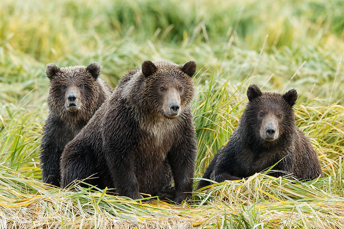 brown-bear-triplets-_y5o1021-geographic-harbor-katmai-national-park-ak