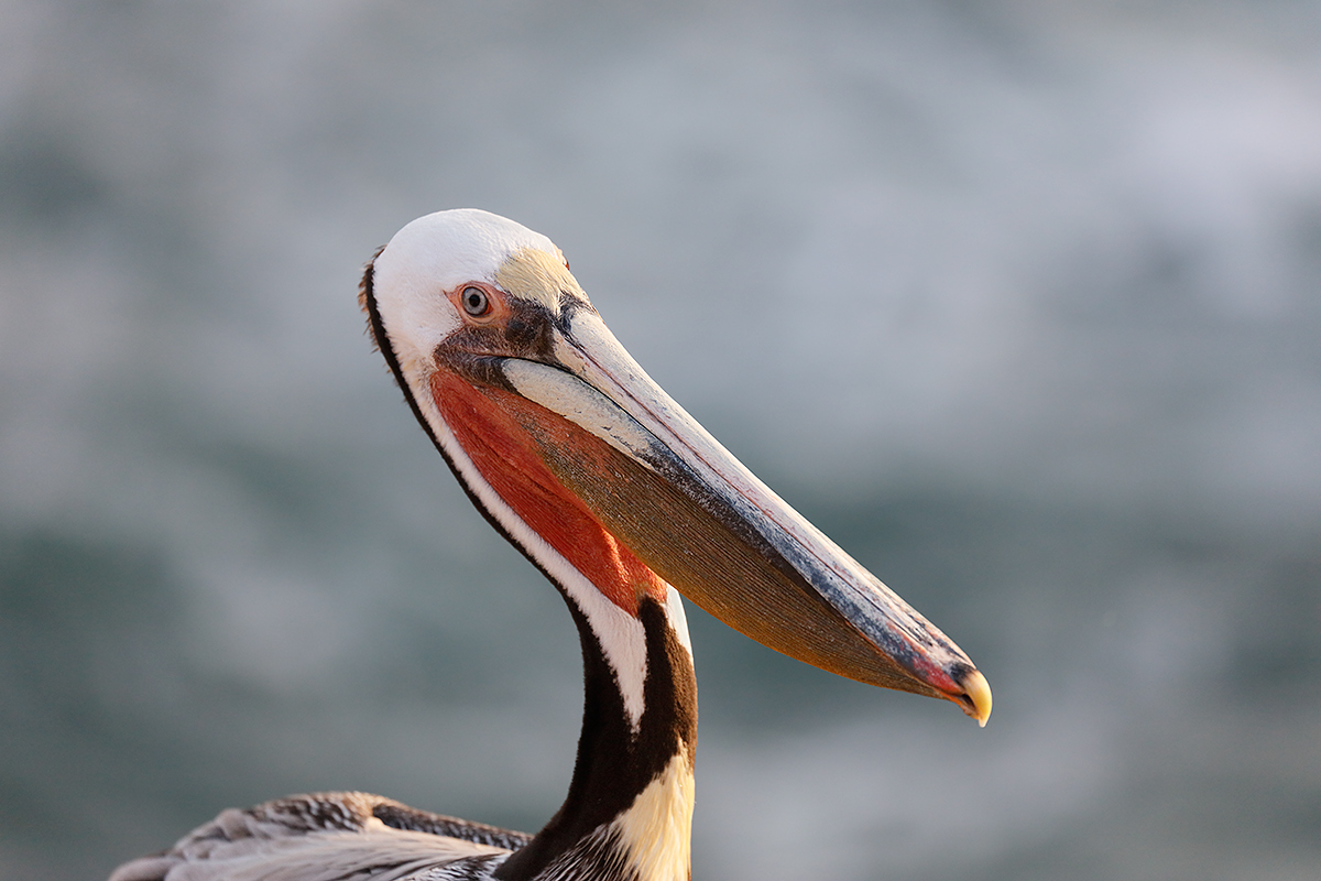 brown-pelican-backlit-is-1600-_r7a6448-la-jolla-ca