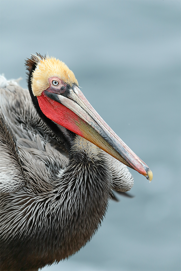 brown-pelican-breeding-plumage-vert-portrait-_y5o8502-la-jolla-ca_0