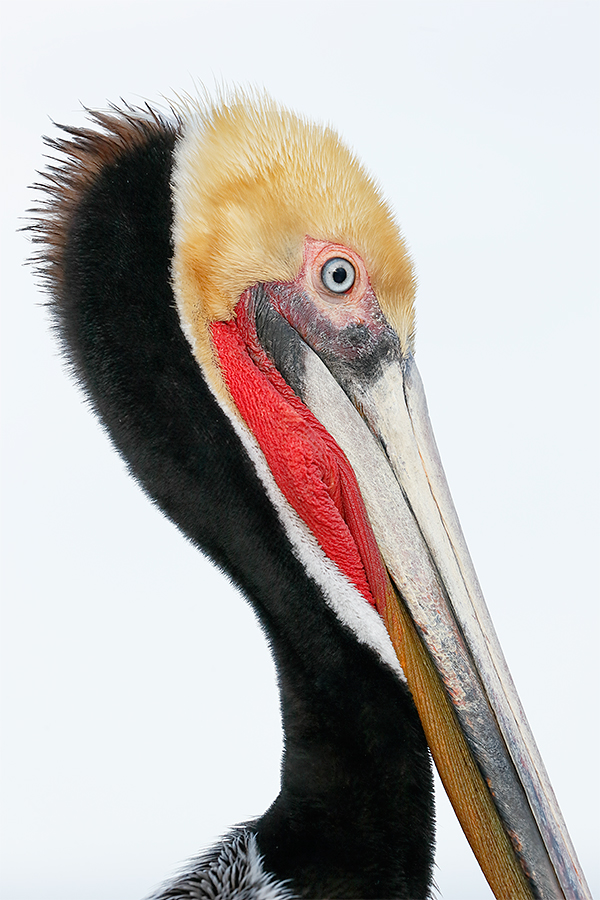 brown-pelican-head-portrait-breeding-plumage-_y7o9491-la-jolla-ca