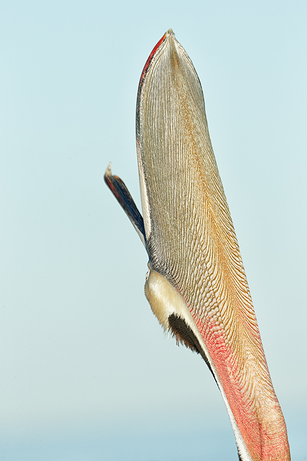 brown-pelican-head-throw-rear-view-dust-spotted-_y7o2632-lajolla-ca
