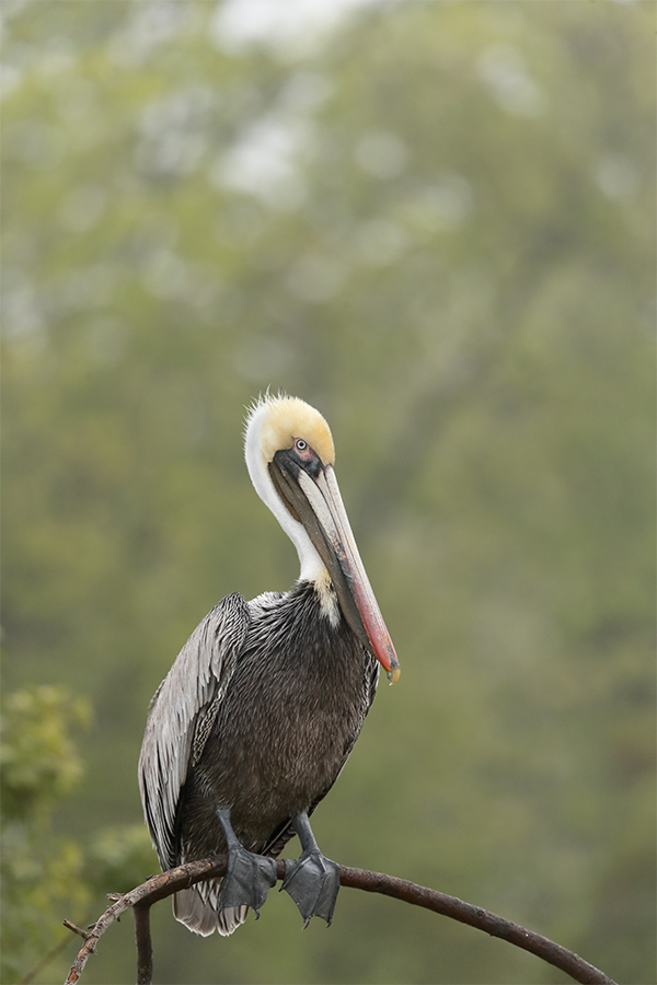 brown-pelican-on-branch-_y5o9452-alafaia-banks-fl