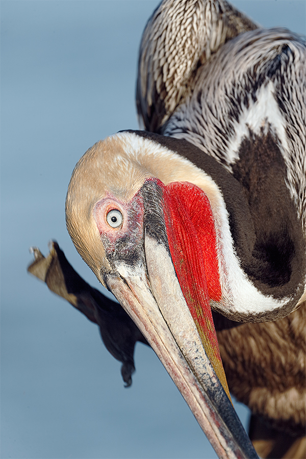 brown-pelican-pacific-race-breeding-plumage-scratching-_y5o8773-la-jolla-ca