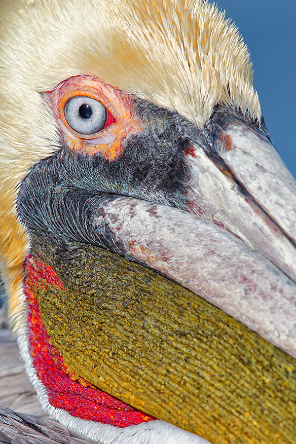 brown-pelican-tight-face-close-up-layers-_y5o1541-lajolla-ca