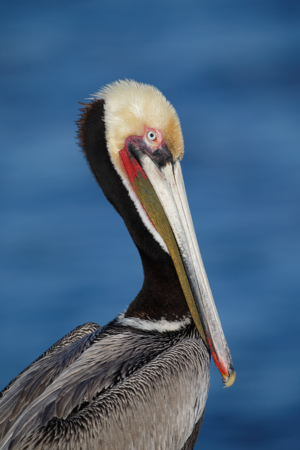 brown-pelican-vertical-_y5o2523-lajolla-ca