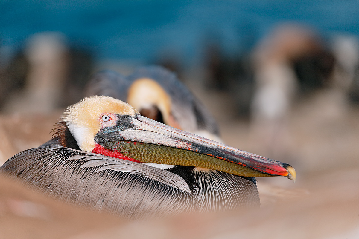 brown-pelican-with-others-_y5o8599-la-jolla-ca