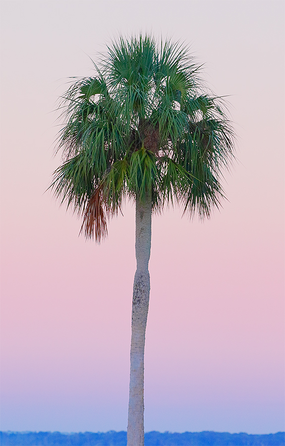 cabbage-palm-_36a8025-indian-lake-estates-fl