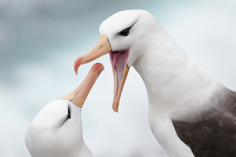 Black-browed-Albatross-displaying-to-mate-_Y5O7203--The-Rookery,-Saunders-Island,-The-Falklands