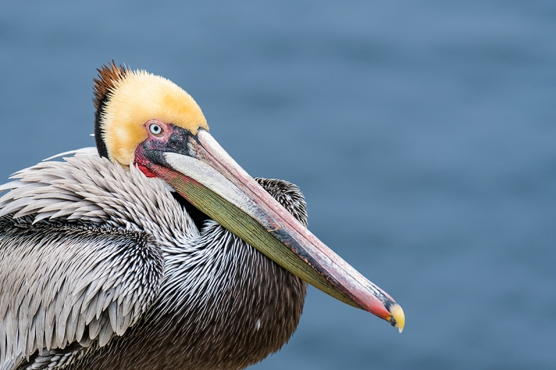 Brown-Pelican-Pacific-race-breeding-plumage-_DSF1292-La-Jolla,-CA