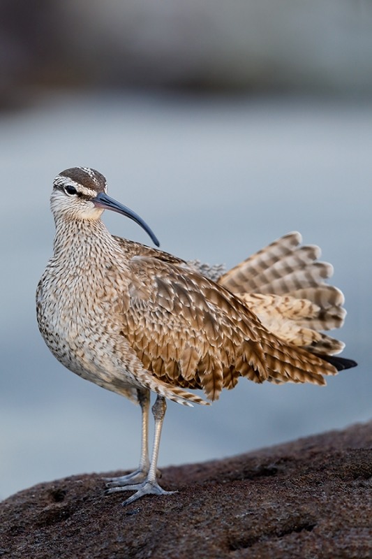 Whimbrel-A-with-tail-fanned-_W5A4403-La-Shores-Beach,-CA