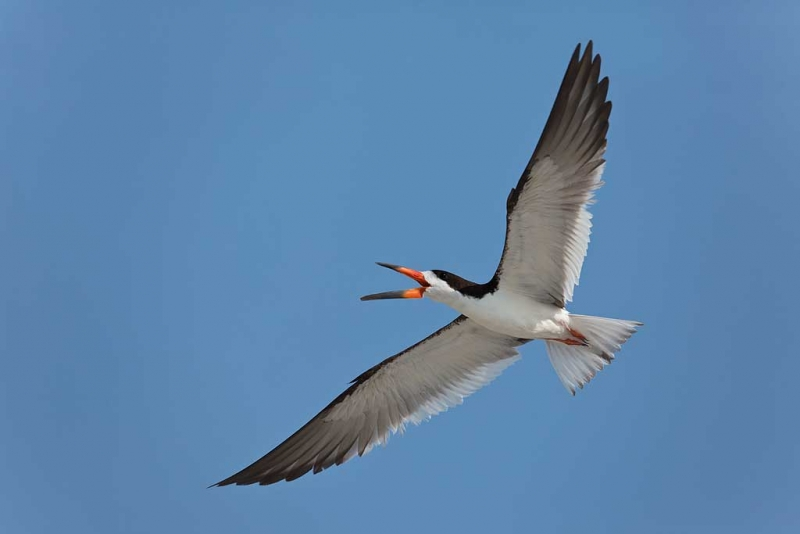 black-skimmer-screaming-during-aerial-battle-_a1c7891-nickerson-beach-long-island-ny