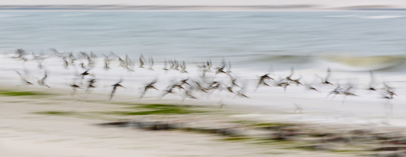 black-skimmers-1400-pano-beach-blur-_w3c9913-nickerson-beach-long-island-ny