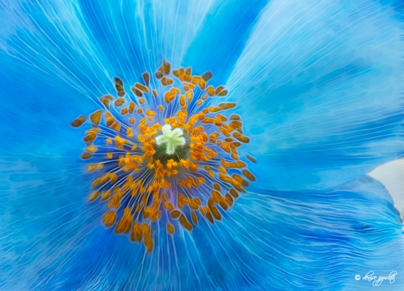 blue-poppy-fractalius