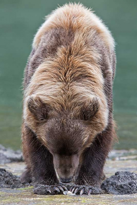 coastal-brown-bear-clamming-vert-_a1c6454-geographic-harbor-katmai-national-park-ak