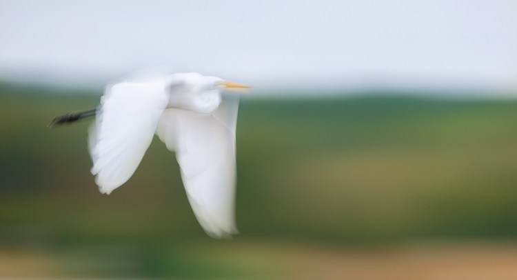 great-egret-pan-blur-with-vibrance-at-80-_y7o2247-huntington-beach-state-park-sc