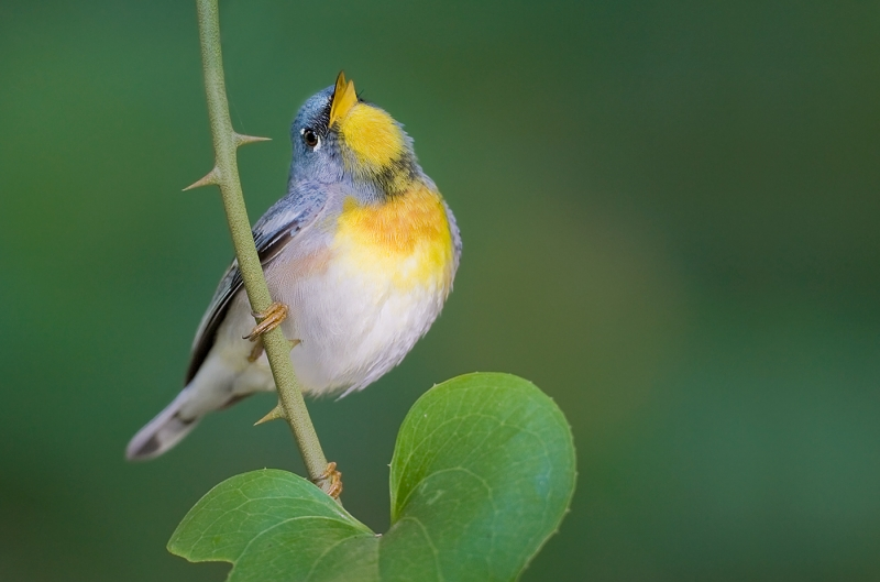 northern-parula-bok-singing-bill-tip-and-neck-replaced-_10j4562-dauphin-island-al-copy
