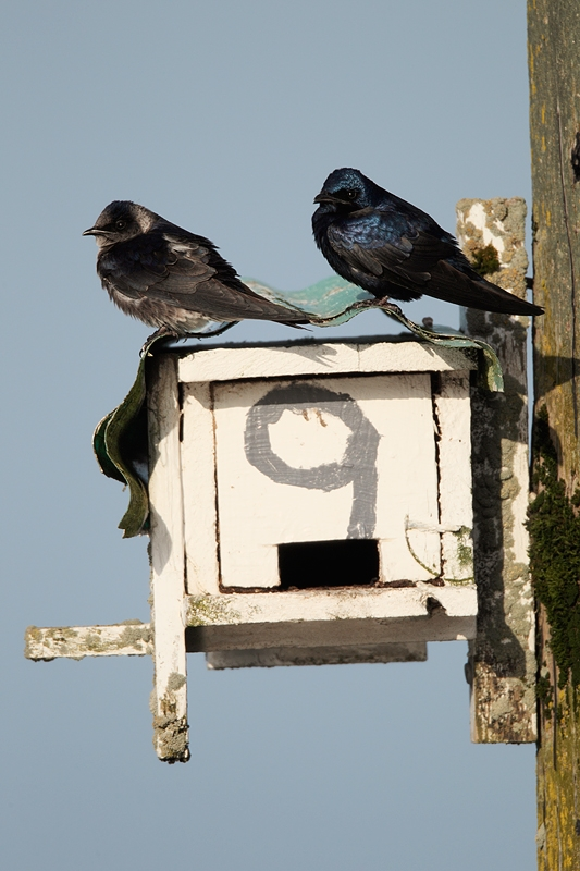 purple-martin-dilapidated-metal-house-_y9c3523-bay-city-or