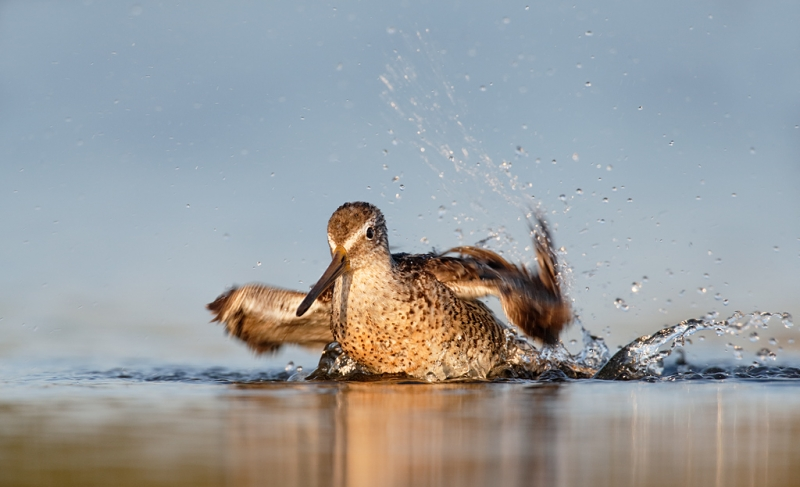 short-billed-dowitcher-bathing-_q8r0525-east-pond-jamaica-bay-wildlife-refuge-queens-ny