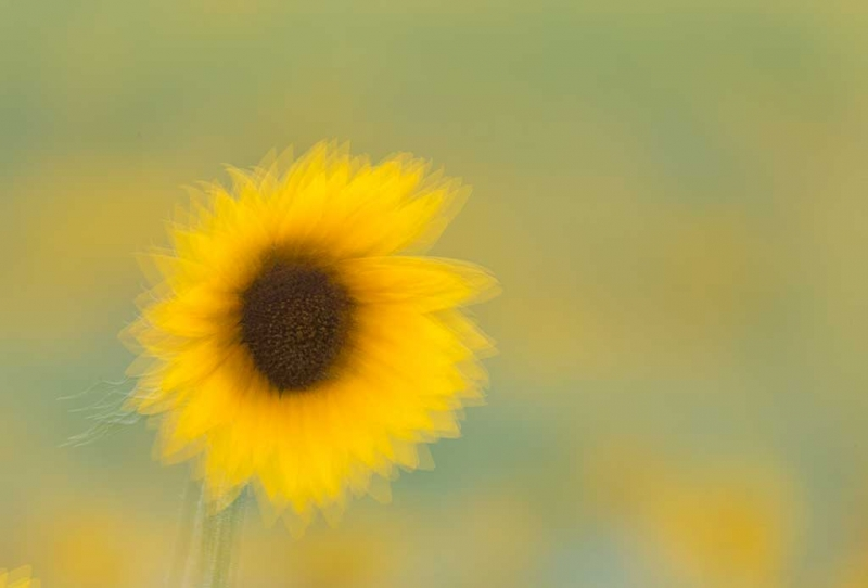 sunflower-mulitple-exposure-defocused-image-at-the-end-_a1c6773-newton-nj