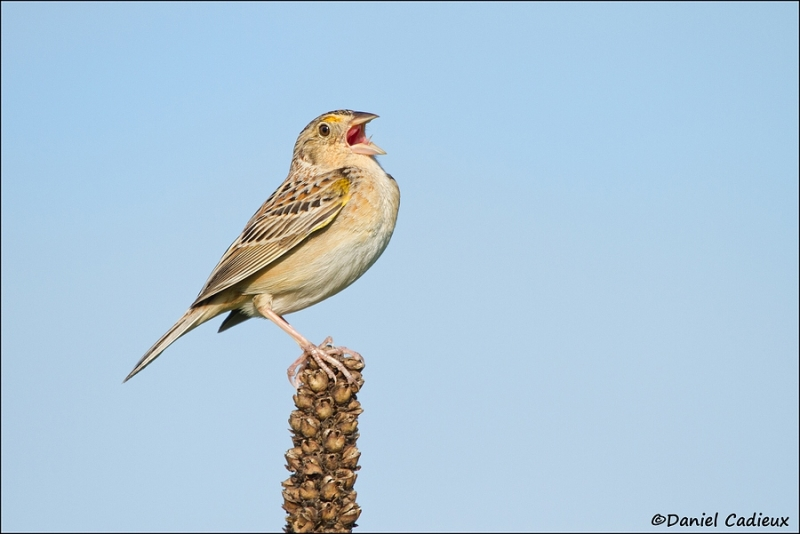 tn_grasshopper-sparrow_7421-1