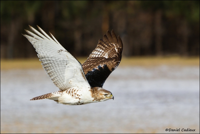 tn_red-tailed-hawk_8232-1