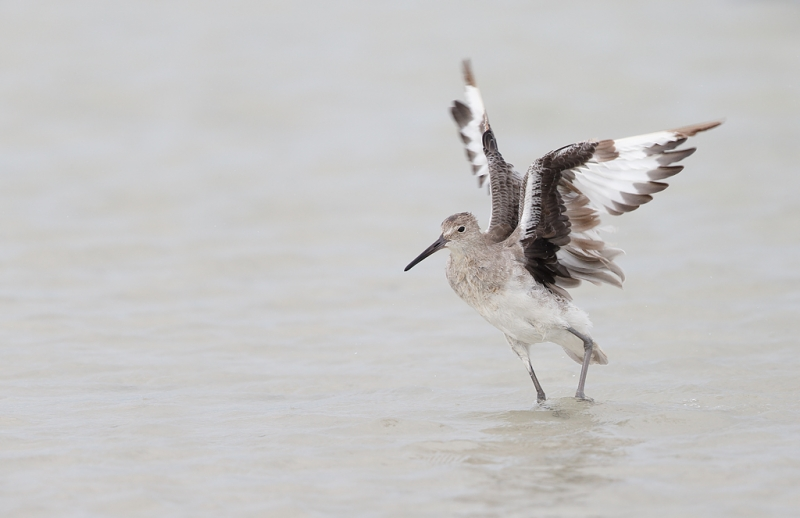 willet-flapping-after-bath-_q8r4718-fort-desoto-park-st-petersburg-fl