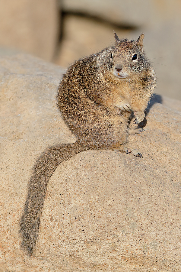 california-ground-squirrel-_y8a4990-morro-bay-ca