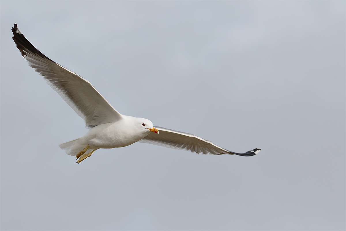 california-gull-in-flight-_y8a1036-morro-bay-ca