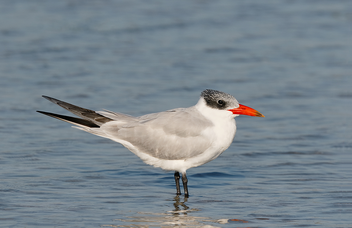 caspian-tern-winter-adult