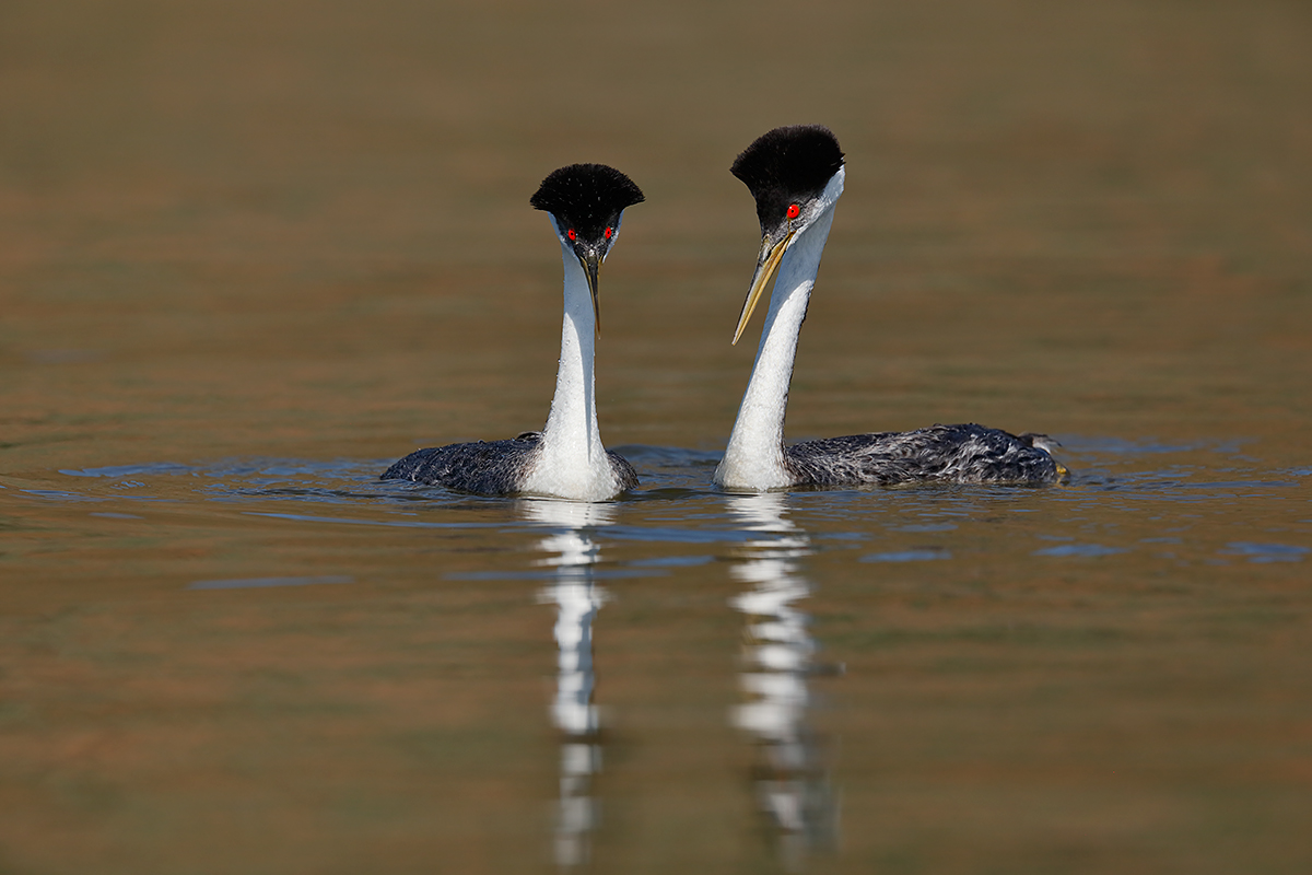 clarkes-x-western-grebe-hybrids-courting-_t0a6886-lake-hodges-ca