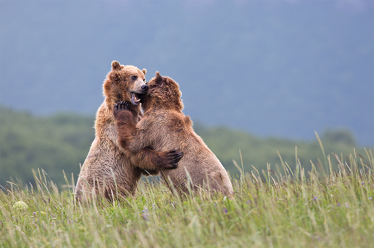 coastal-brown-bears-squabbling-_a1c9565-hallo-bay-katmai-national-park-ak