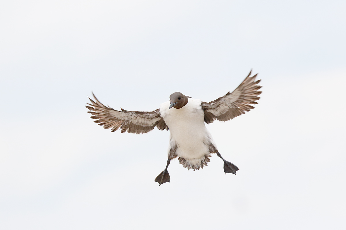 common-murre-braking-for-landing-_y8a1053-seabird-isles-off-seahouses-uk