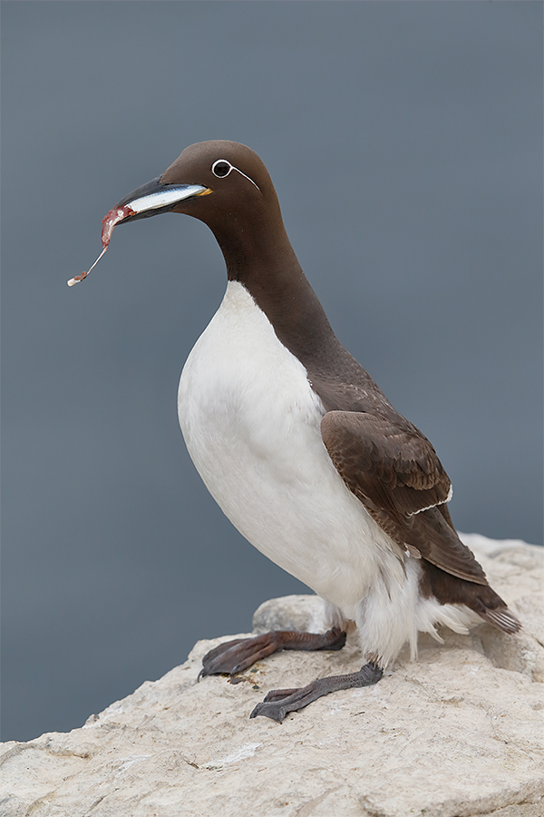 common-murre-bridled-form-w-fish-_y5o6048-seabird-islands-off-seahouses-uk
