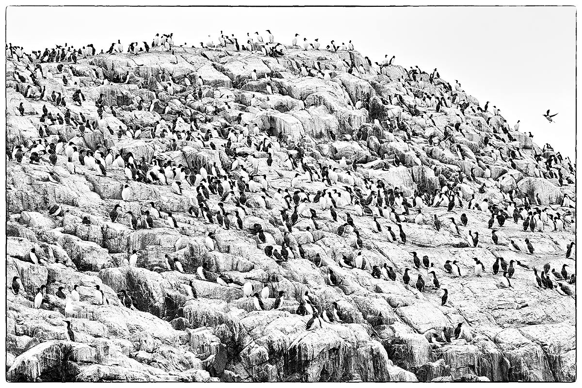 common-murre-colony-silver-efex-pro-fine-art-high-key-_y5o6686-islands-off-seahouses-uk-recovered