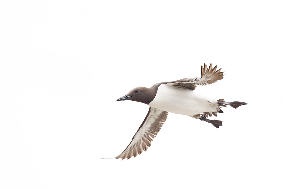 common-murre-in-flight-take-blk-out-of-whites-_y5o4660-islands-off-seahouses-uk-copy