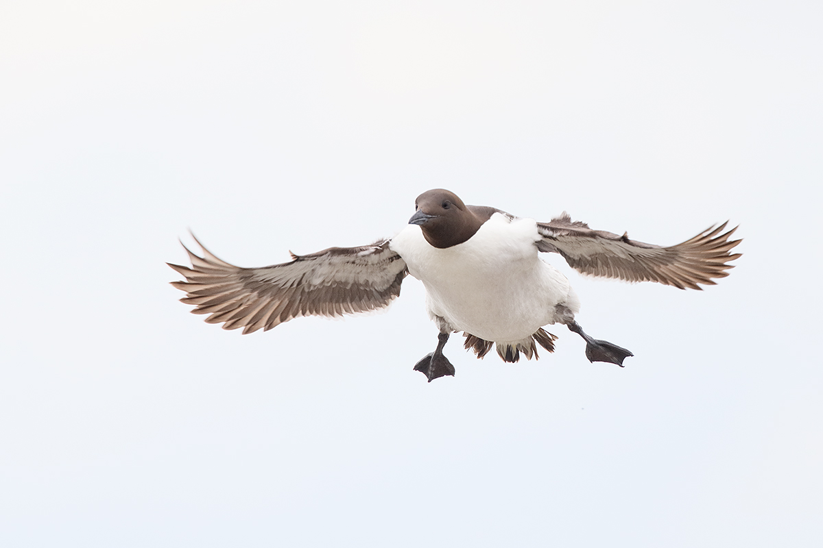 common-murre-on-final-approach-_y5o4873-islands-off-seahouses-uk