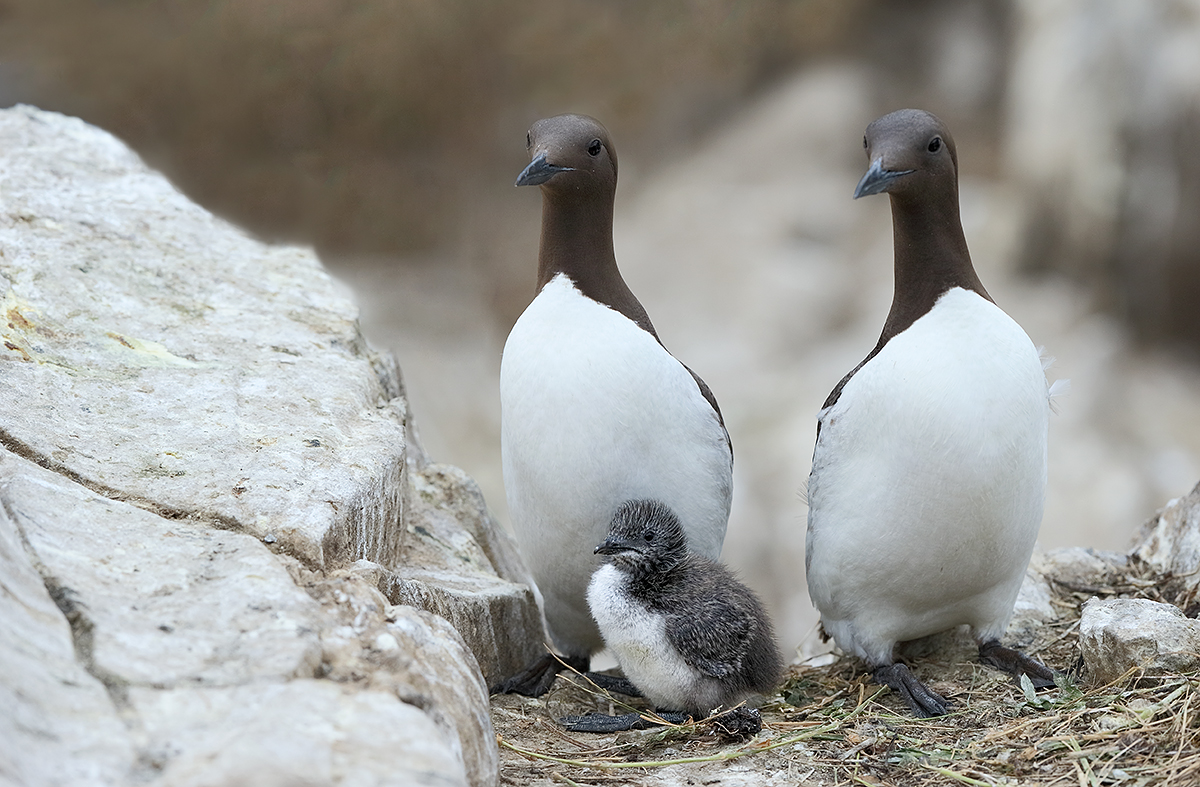 common-murre-pair-with-chick-_y7o7090-seabird-islands-off-seahouses-uk