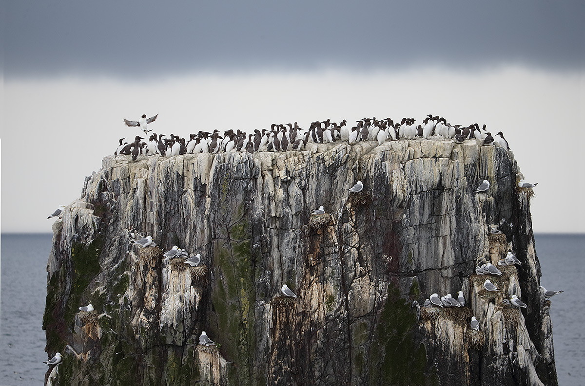 common-murres-on-seastack-from-reconvert-_y5o6724-aa-islands-off-seahouses-uk