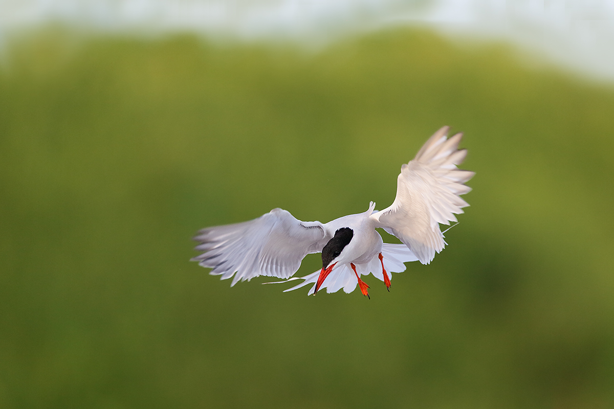 common-tern-braking-to-land_y7o3728-great-gull-island-project-ny