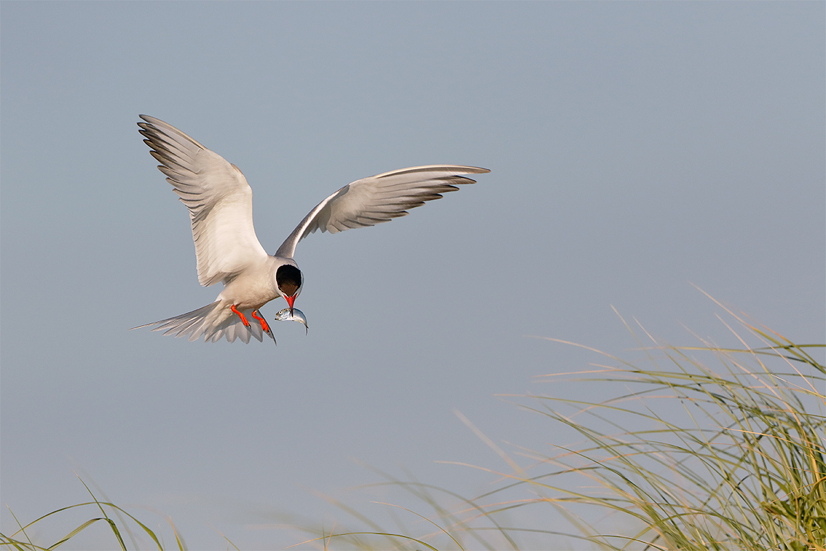 common-tern-bringing-baitfish-to-young-_y8a5906-awb-nickerson-beach-point-lookout-ny
