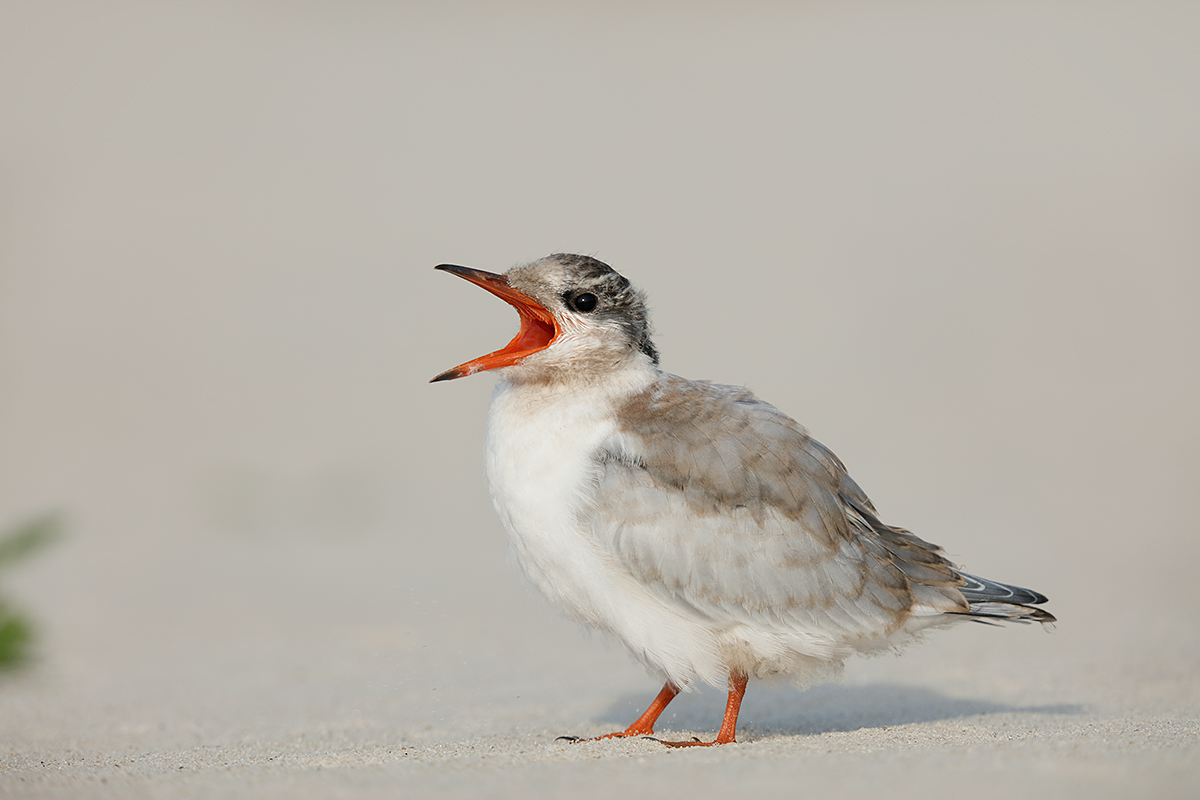 common-tern-chick-begging-will-schilling-photo_r7a0034