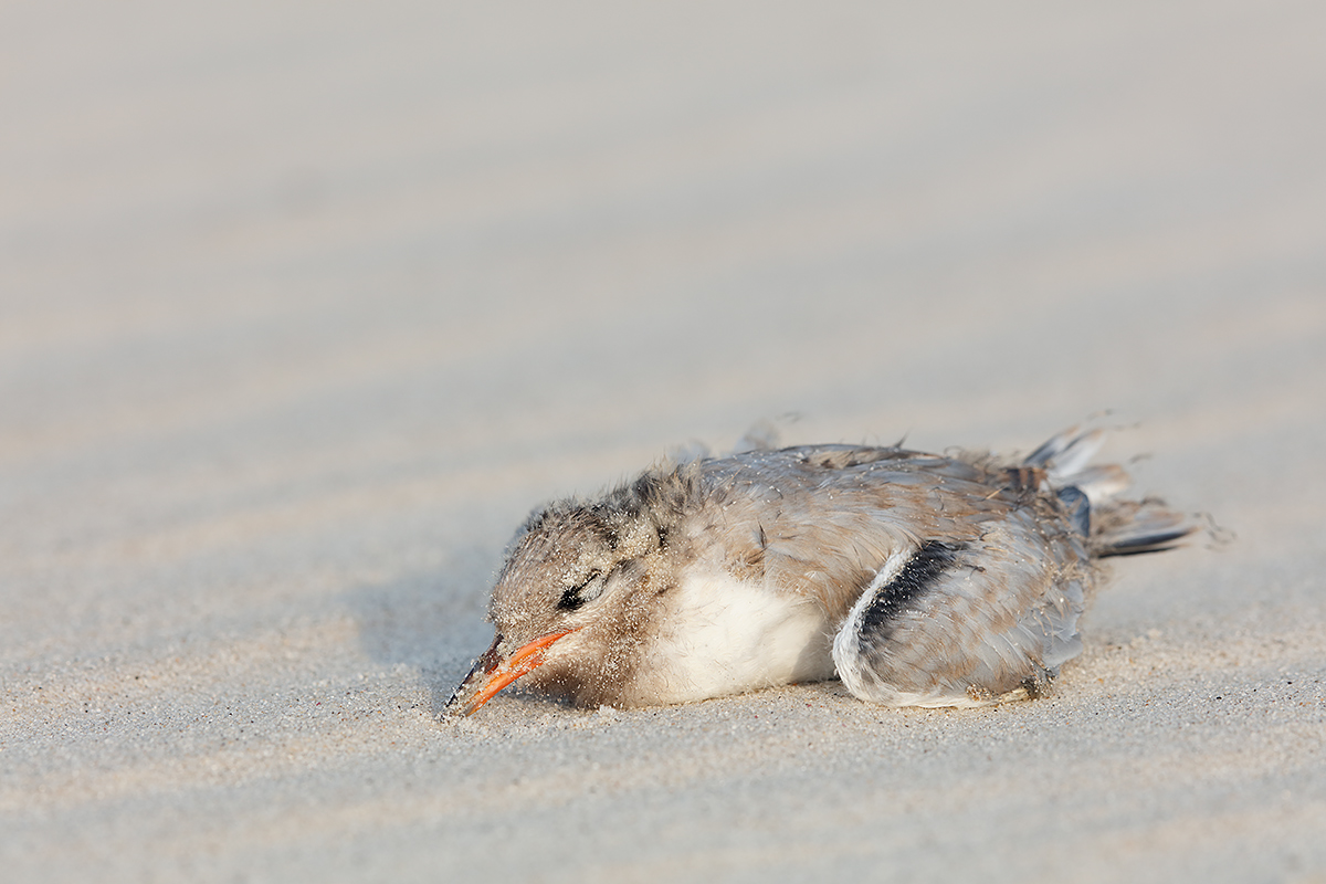 common-tern-chick-dying-_t0a3907-nickerson-beach-li-ny