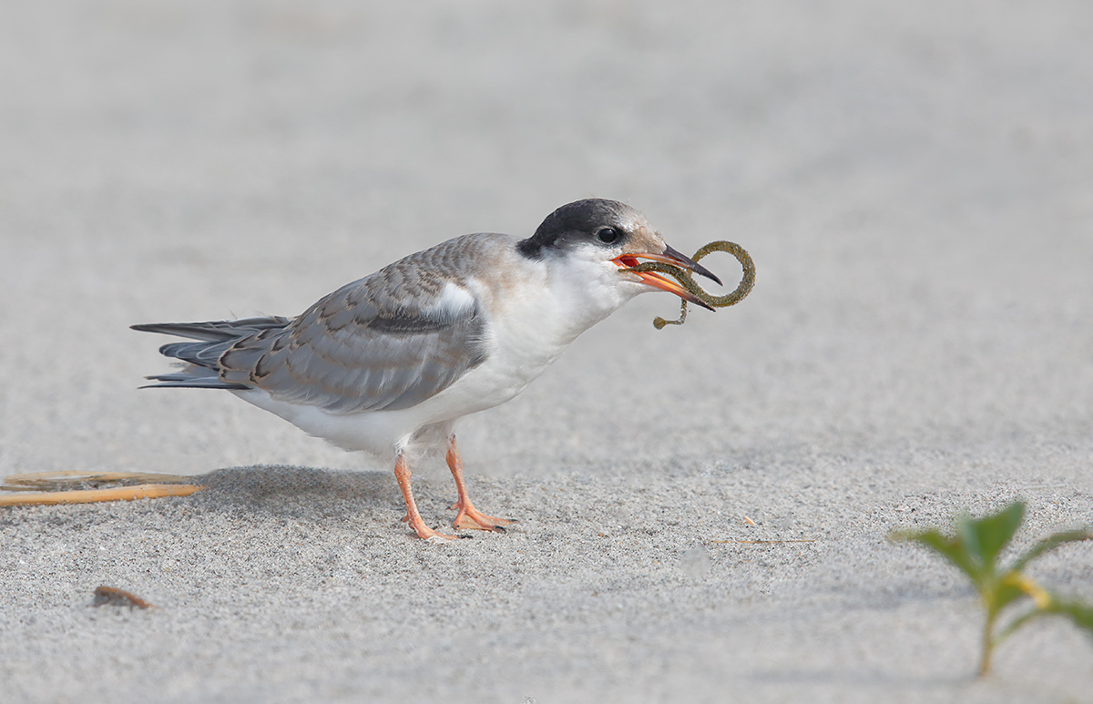 common-tern-chick-with-pipefish-_a1c1569-nickerson-beach-li-ny