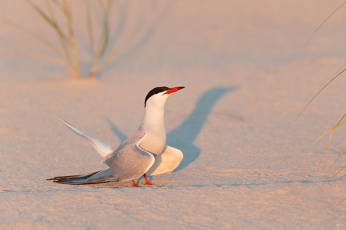 common-tern-displaying-_y5o0206-nickerson-beach-li-nya