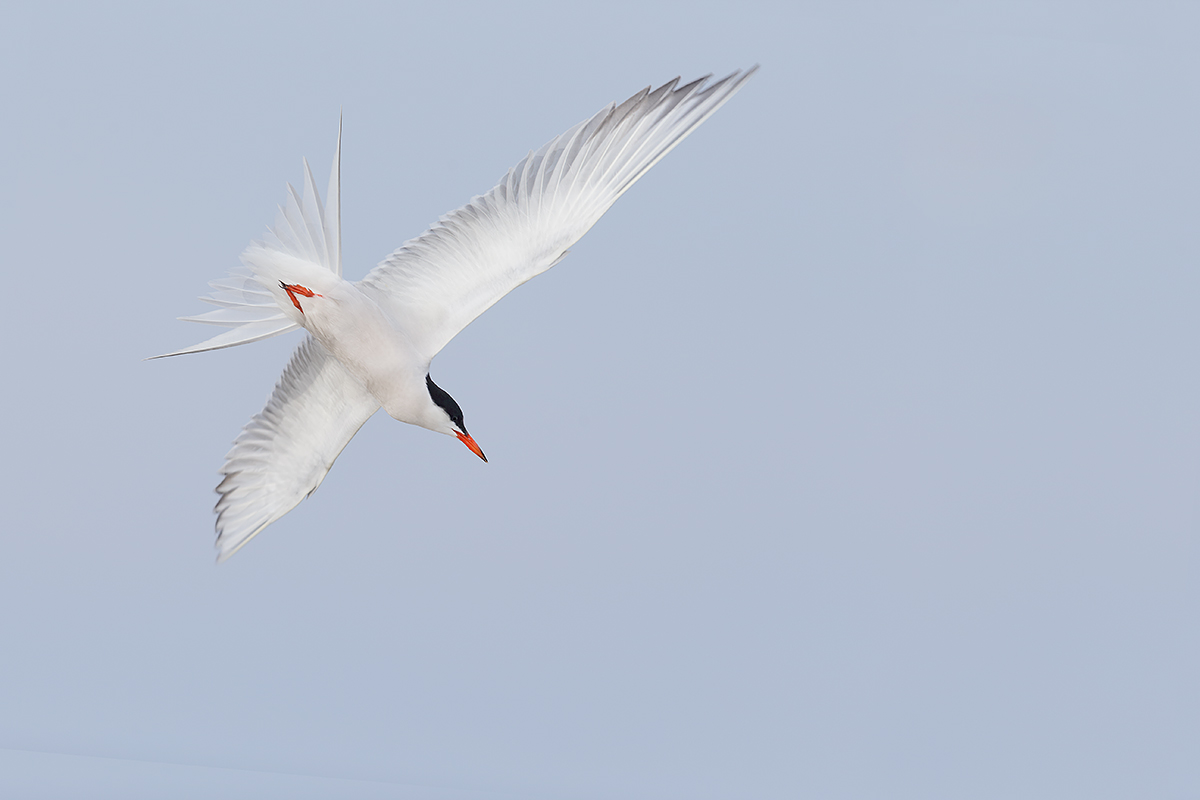 common-tern-diving-from-below-_y5o8974-nickerson-beach-li-ny