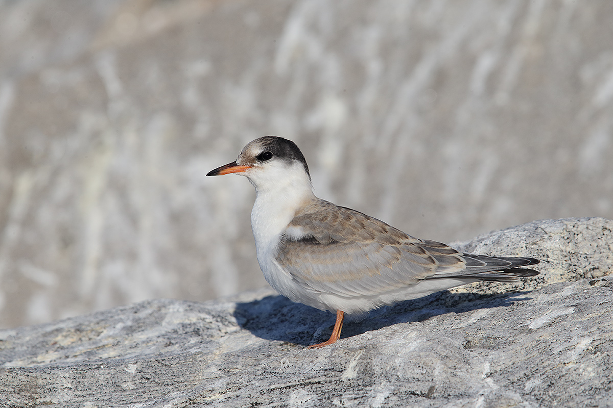 common-tern-fledged-juvenile-_y5o0674-great-gull-island-project-ny