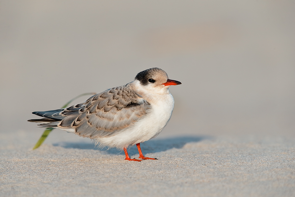 common-tern-fledgling