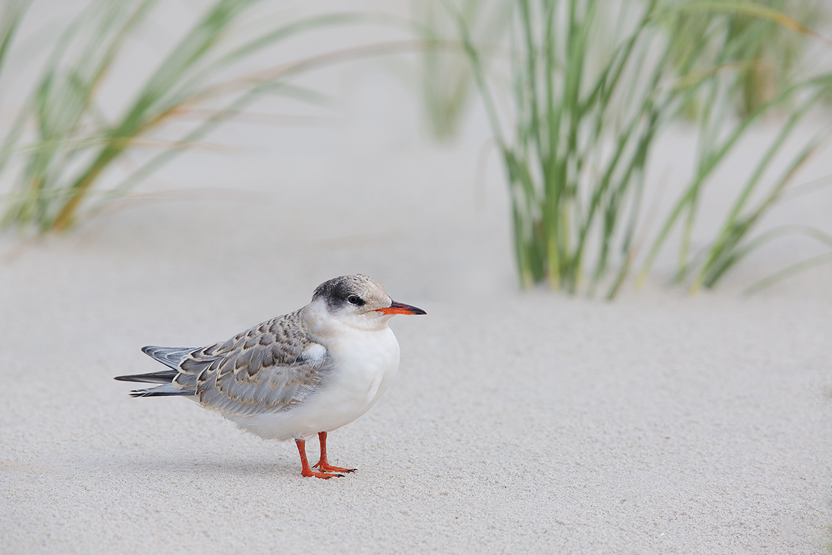 common-tern-grown-chick-in-beach-grass-habitat_a1c1601-nickerson-beach-li-ny