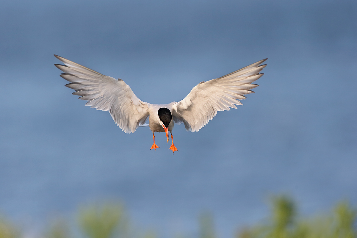 common-tern-landing-lighter-_y7o4187-great-gull-island-project-ny