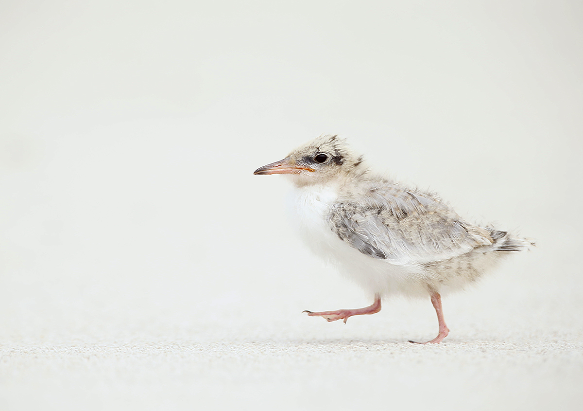 common-tern-large-chick-striding-_y5o7884-nickerson-beach-li-ny